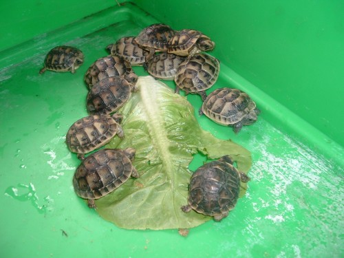 identification des tortue  2_110