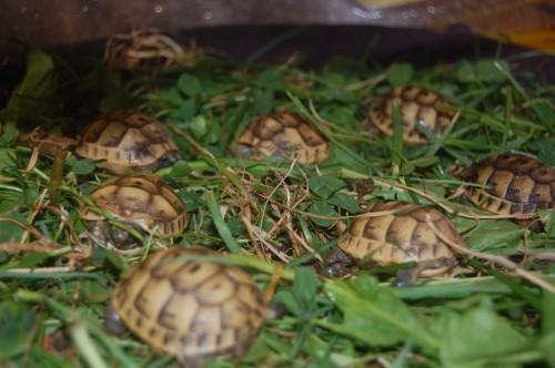 identification des tortue  610