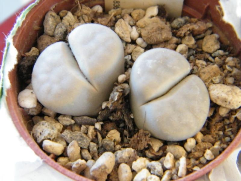 Lithops et Faucaria, floraisons Dscf1311