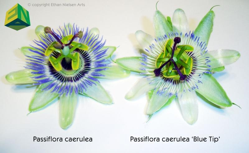 Passiflora caerulea species selection 'Blue Tip' Compar10
