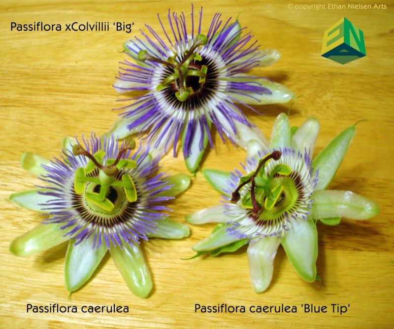 Passiflora caerulea species selection 'Blue Tip' Compar11