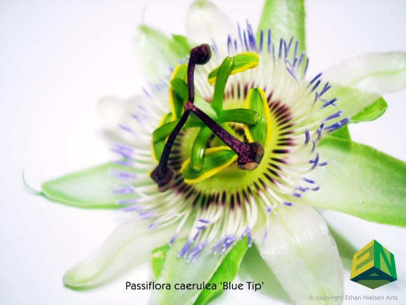 Passiflora caerulea species selection 'Blue Tip' P-caer10