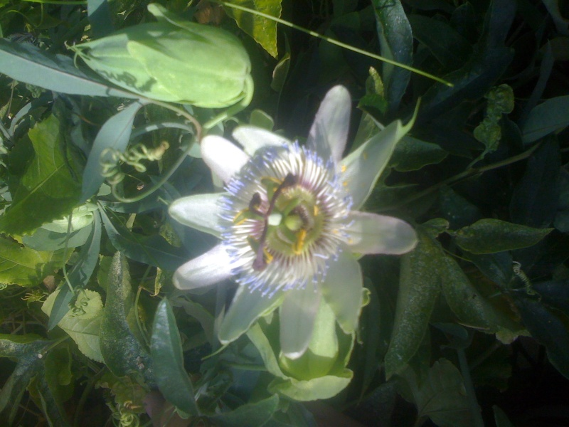 Passiflora caerulea species selection 'Blue Tip' Passif12