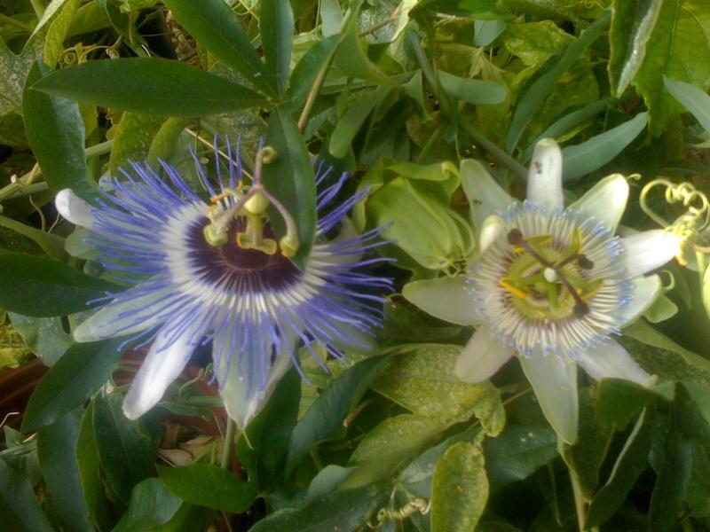 Passiflora caerulea species selection 'Blue Tip' Passif13