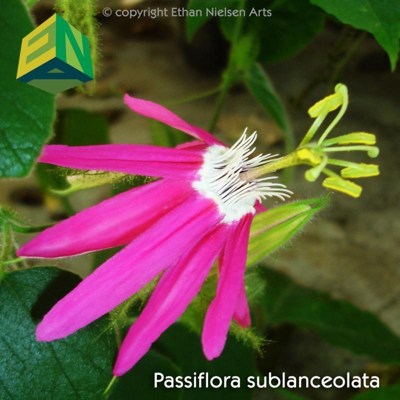 Passiflora sublanceolata Sublan10