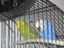 Mes perruches: Noisette et Océan Img_4510
