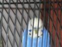 Mes perruches: Noisette et Océan Img_4514