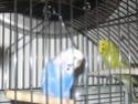 Mes perruches: Noisette et Océan Img_4519
