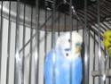 Mes perruches: Noisette et Océan Img_4521