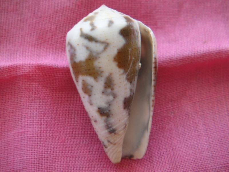 Conus (Pionoconus) striolatus decurtatus (Dautzenberg, 1910) Voir Conus (P.) striolatus Conus_15