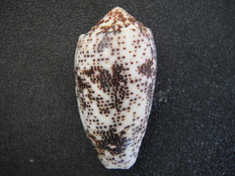Conus (Pionoconus) stercusmuscarum   Linnaeus, 1758 Conus_25