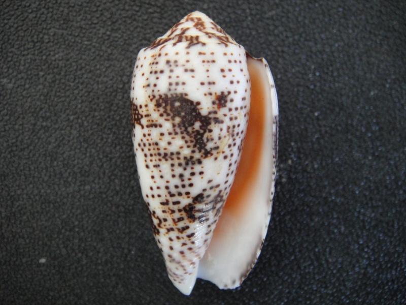 Conus (Pionoconus) stercusmuscarum   Linnaeus, 1758 Conus_26