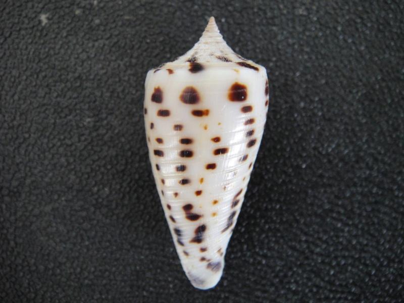 Conus (Phasmoconus) zapatosensis   Röckel, 1987 Conus_36