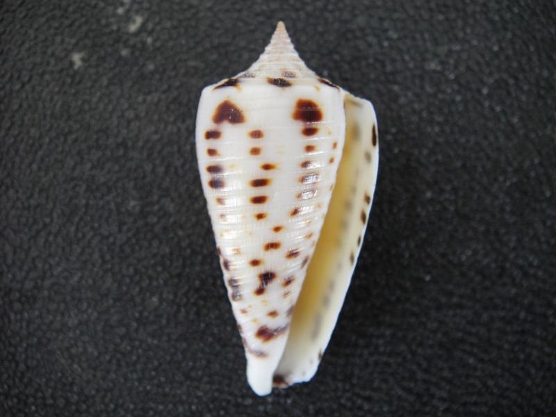 Conus (Phasmoconus) zapatosensis   Röckel, 1987 Conus_37