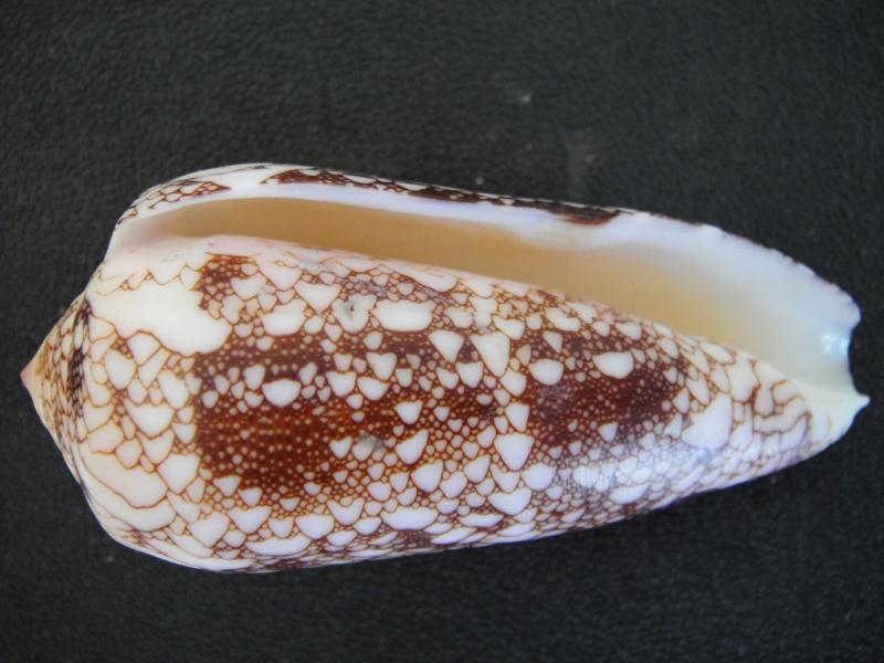 Conus (Darioconus) omaria convolutus     GB Sowerby II, 1858  Conus_64