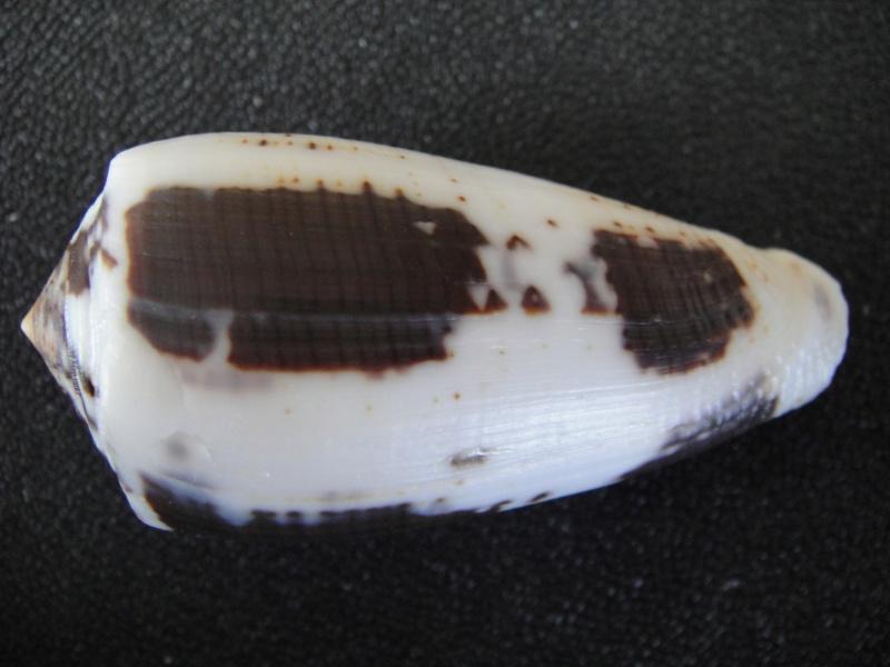 Conus (Pionoconus) magus assimilis Adams, 1855 voir Conus (Pionoconus) magus Conus_65