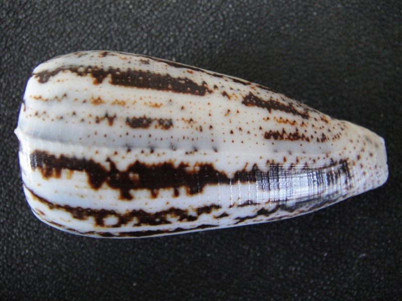 Conus (Pionoconus) magus assimilis Adams, 1855 voir Conus (Pionoconus) magus Conus_67