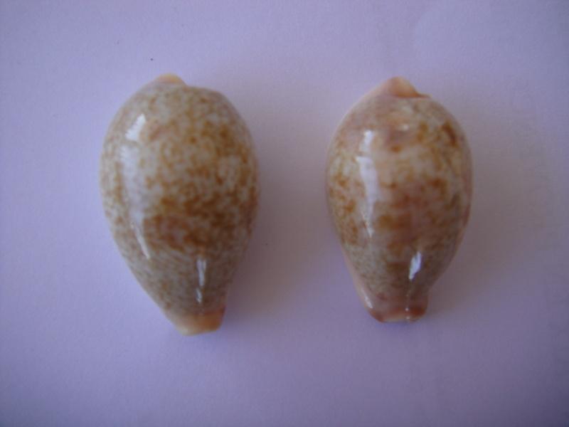 Erronea subviridis subviridis - (Reeve, 1835)  Cypraa34