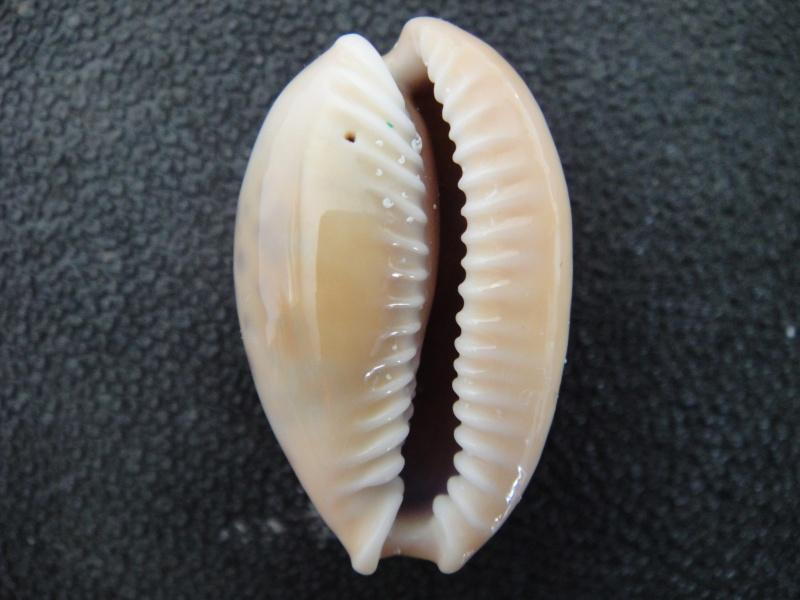 Naria spurca - (Linnaeus, 1758) Cyprae17