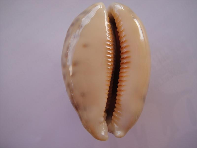 Mauritia eglantina - (Duclos, 1833) Cyprae24