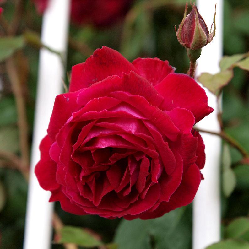Rose DSK Roseds10