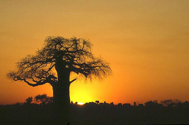 BAOBAB BONSAI- FEASIBLE STYLE? Baobab11