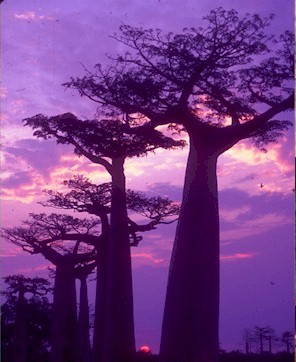 BAOBAB BONSAI- FEASIBLE STYLE? Baobab12