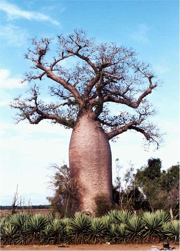 BAOBAB BONSAI- FEASIBLE STYLE? Baobab13