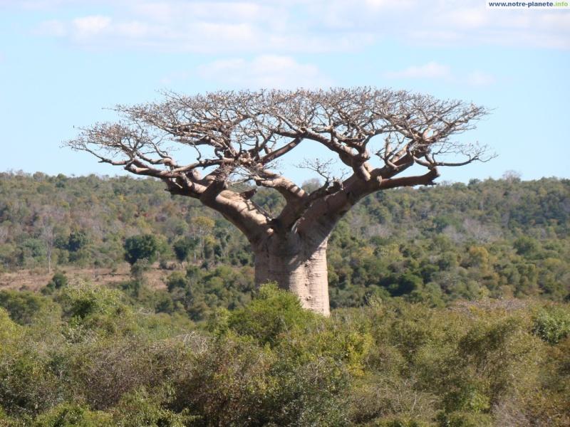 BAOBAB BONSAI- FEASIBLE STYLE? Baobab14