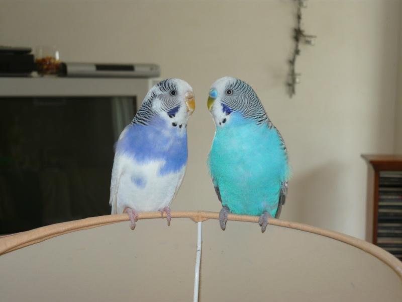 comète and blue P1000616