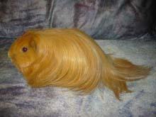 Морская свинка Шелти 13410