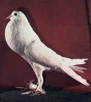 Зарубежные породы голубей A165510