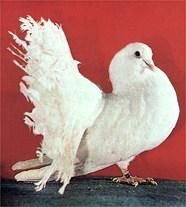 Зарубежные породы голубей D165510