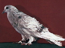 Зарубежные породы голубей E165510