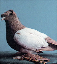 Зарубежные породы голубей H165510