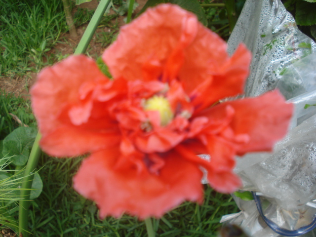 Quelques floraisons de mon jardin Coquel10