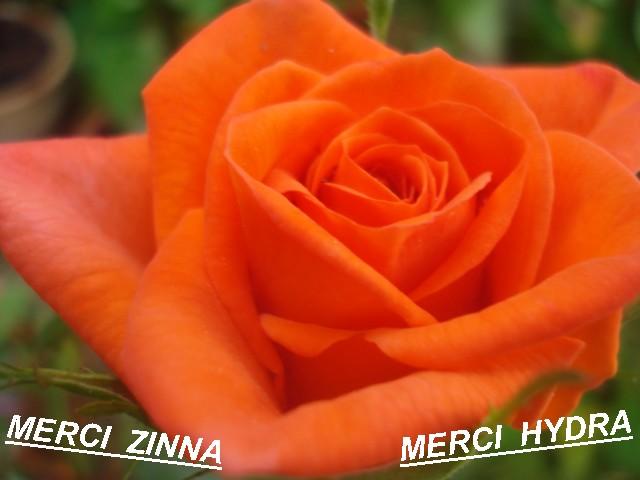 Quelques floraisons de mon jardin - Page 2 Ros_or10