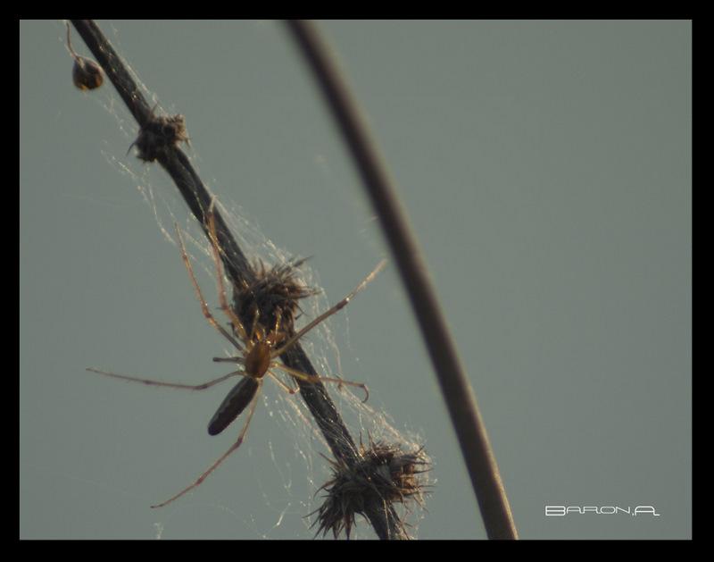 araignée du soir Mon_im17