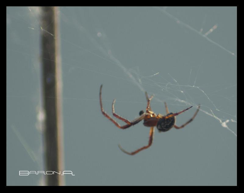 araignée du soir Mon_im18