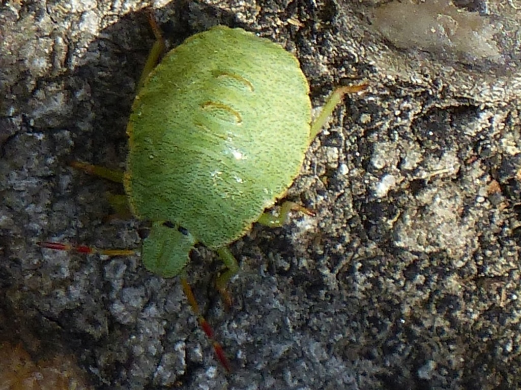 [Palomena sp._Juvénile] Palomena prasina ou viridissima P1180615