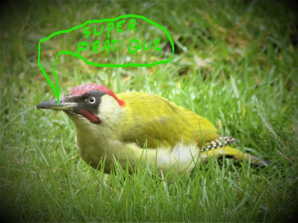 Comptage des oiseaux de jardin P1200412