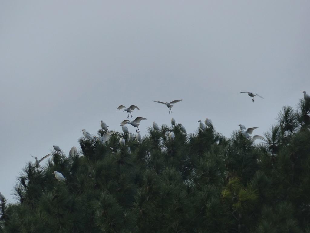 Bubulcus ibis P1200616