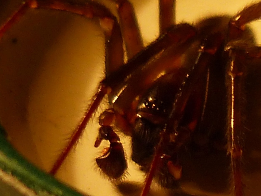Amorobius similis??? [Amaurobius ferox] P1210410