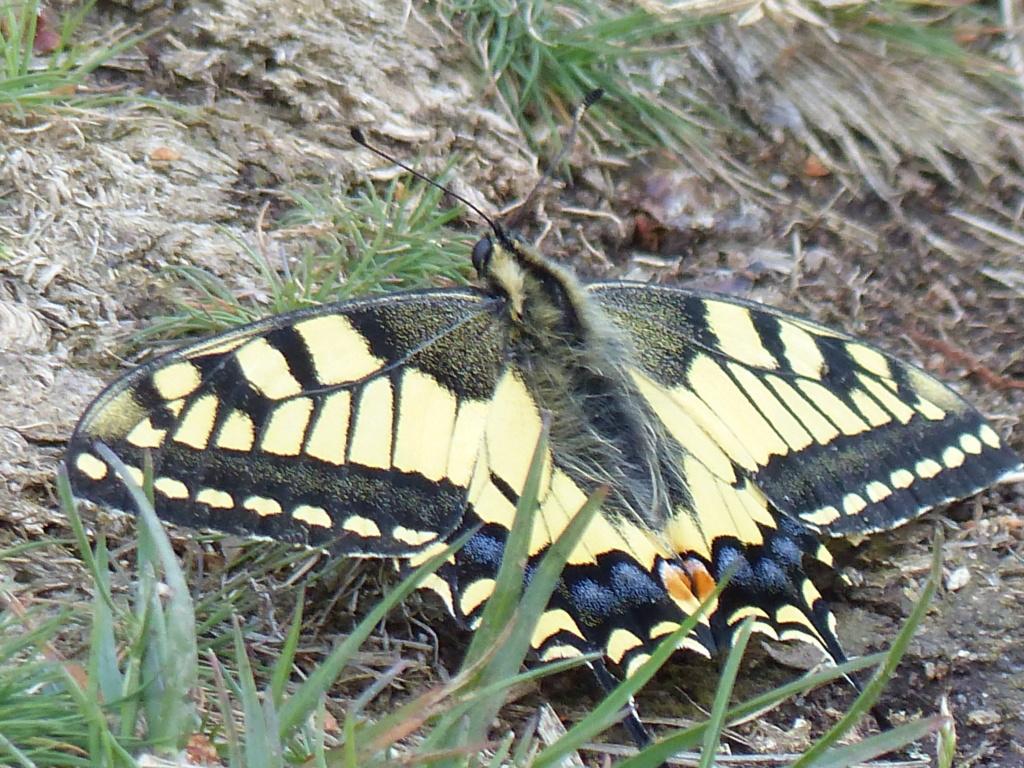Papilio machaon P1220613