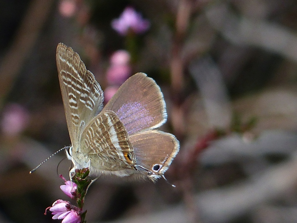 Lampides boeticus P1230414
