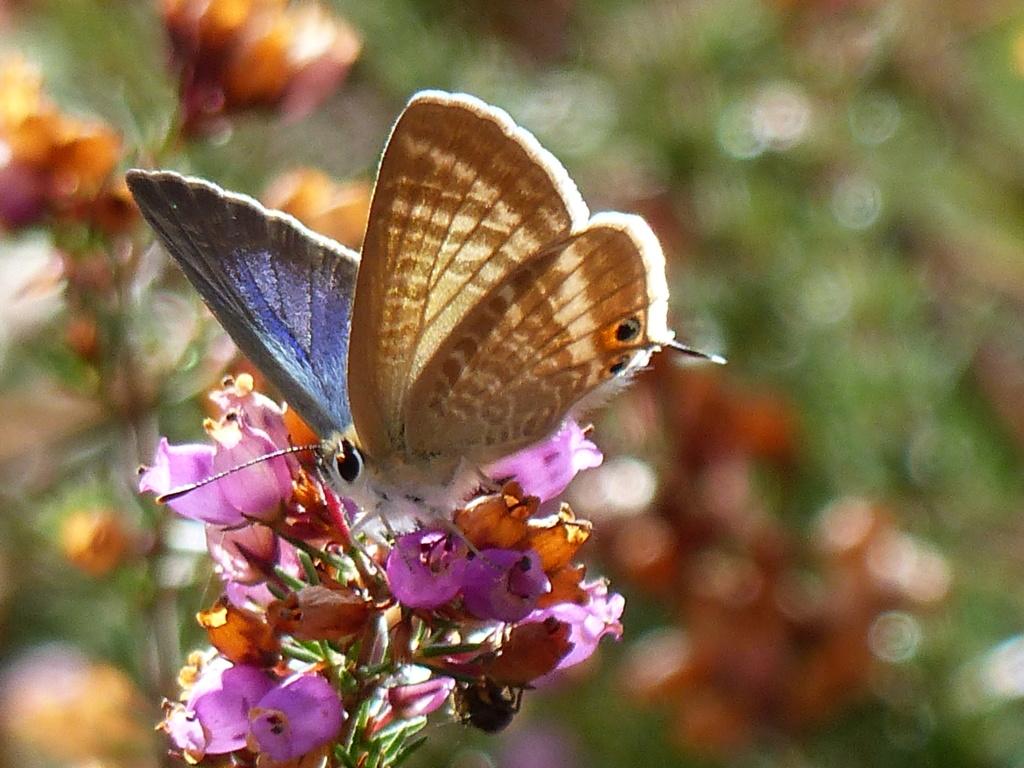 Lampides boeticus P1230415