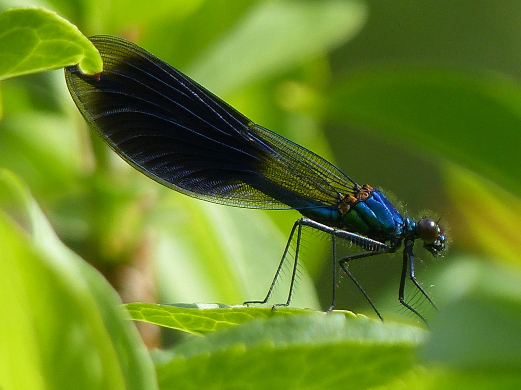 ici aussi calopterygidae et gomphidae P1240315