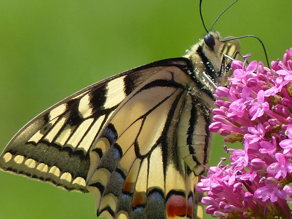 Oeuf de Papilio machaon sur Angelica archangelica P1240510