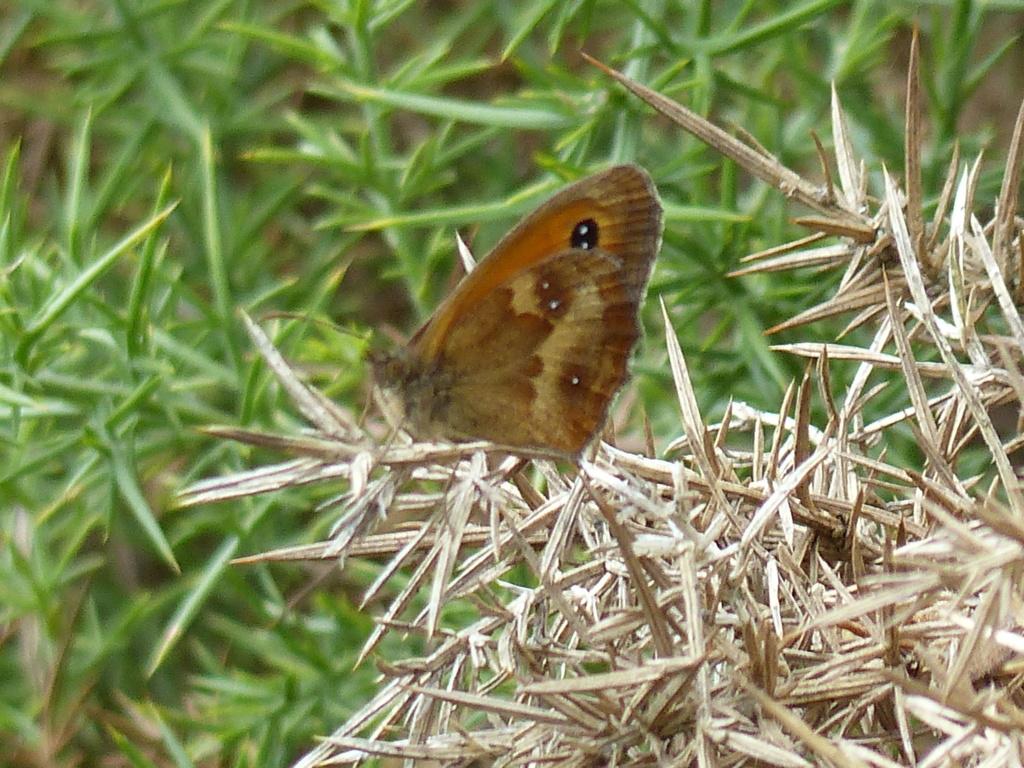 Papillon Amaryllis P1250015