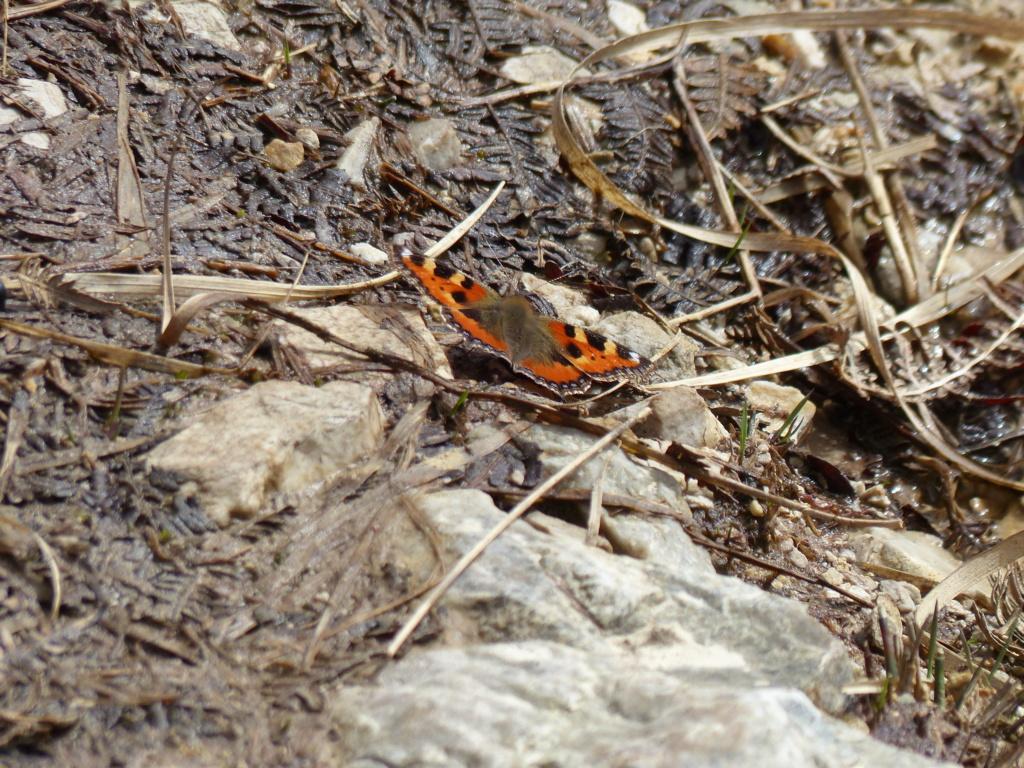 Papillon précoce P1250912